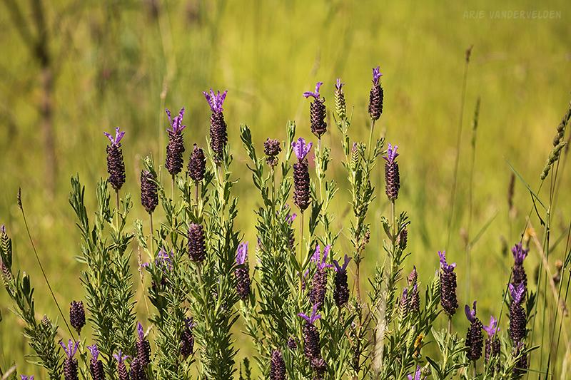 Wild lavender.