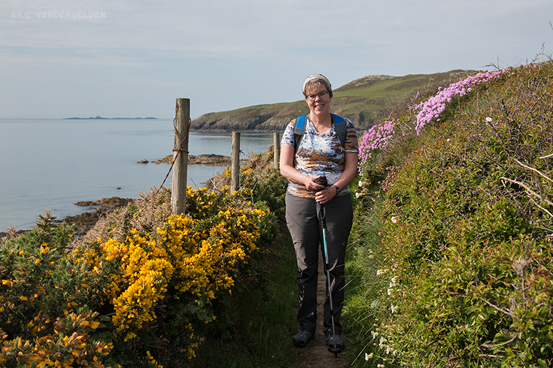 Yellow gorse and sea-pinks along the trail.