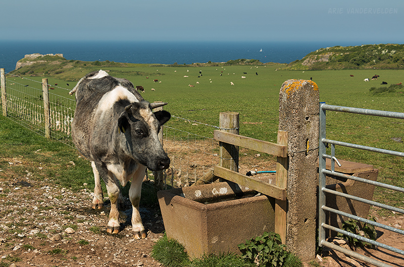 Cow at Penmon Point.