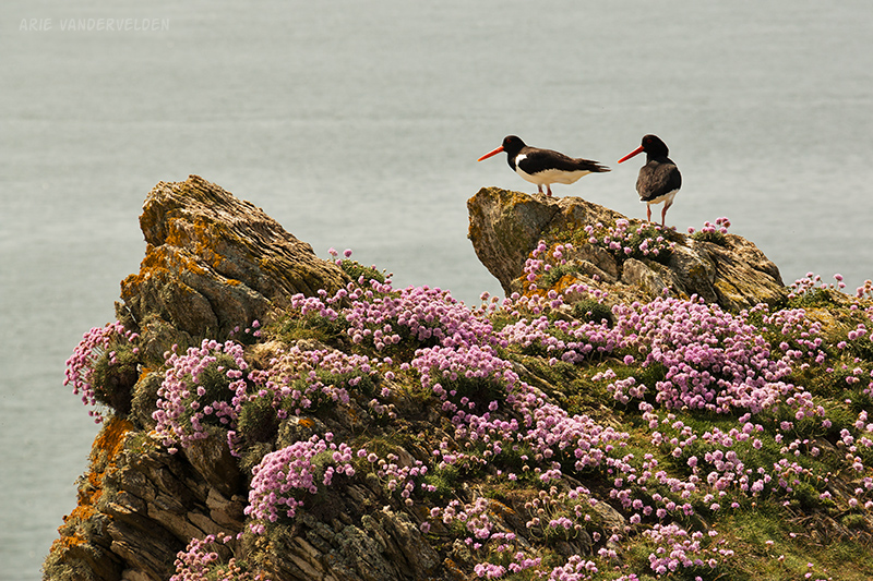 Oystercatchers.