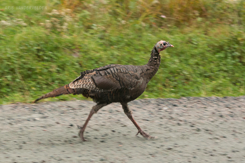 Wild turkey running across the cat track.