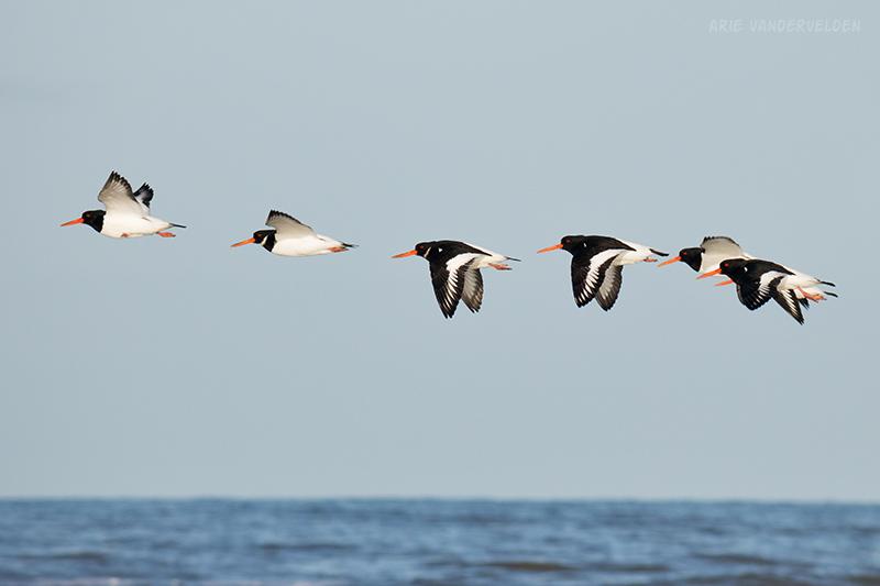 Oystercatchers in flight.
