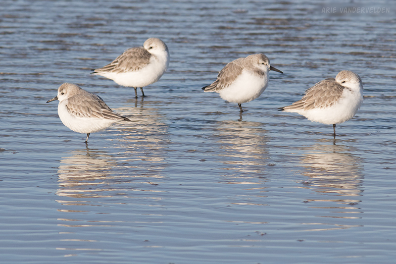 Plovers, resting.