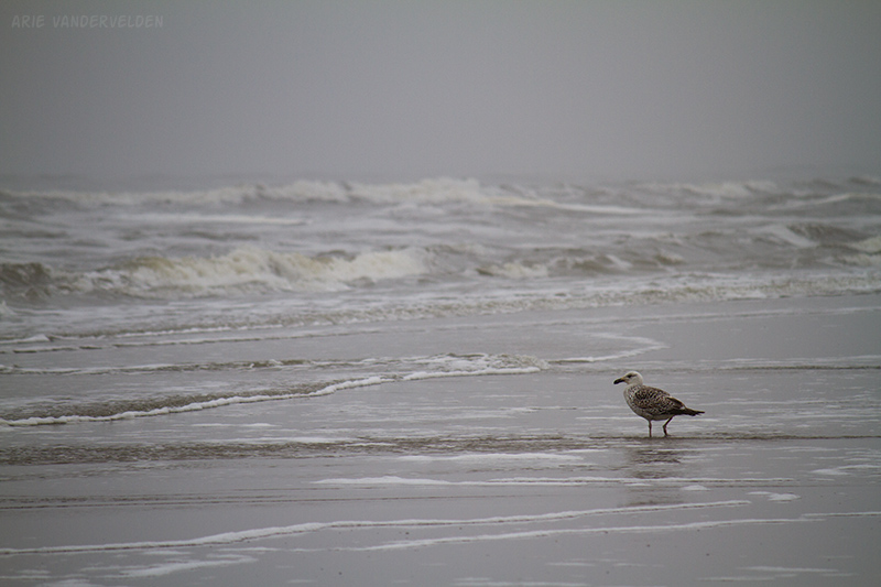 A gull looks for something to snack on.