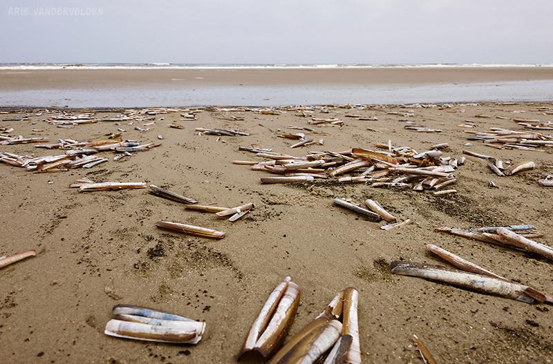 Razor clam shells.