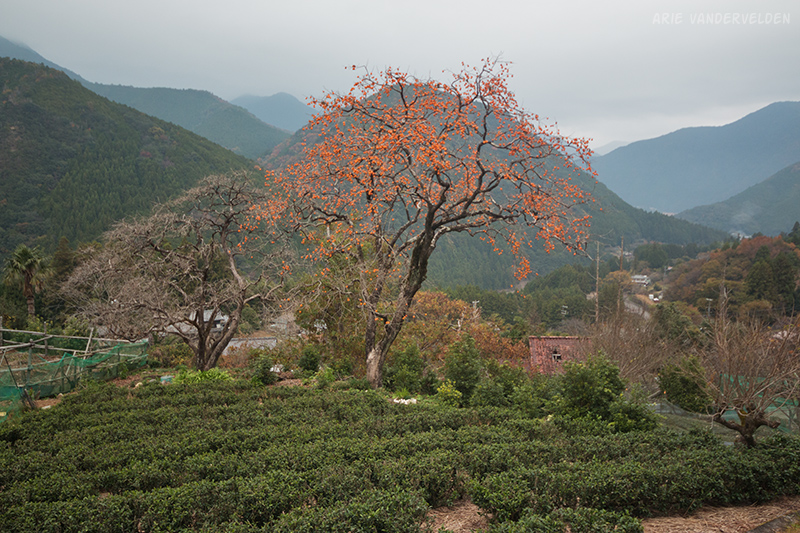 Tea bushes and a persimmon tree.